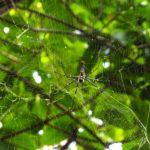 Cambodia spider